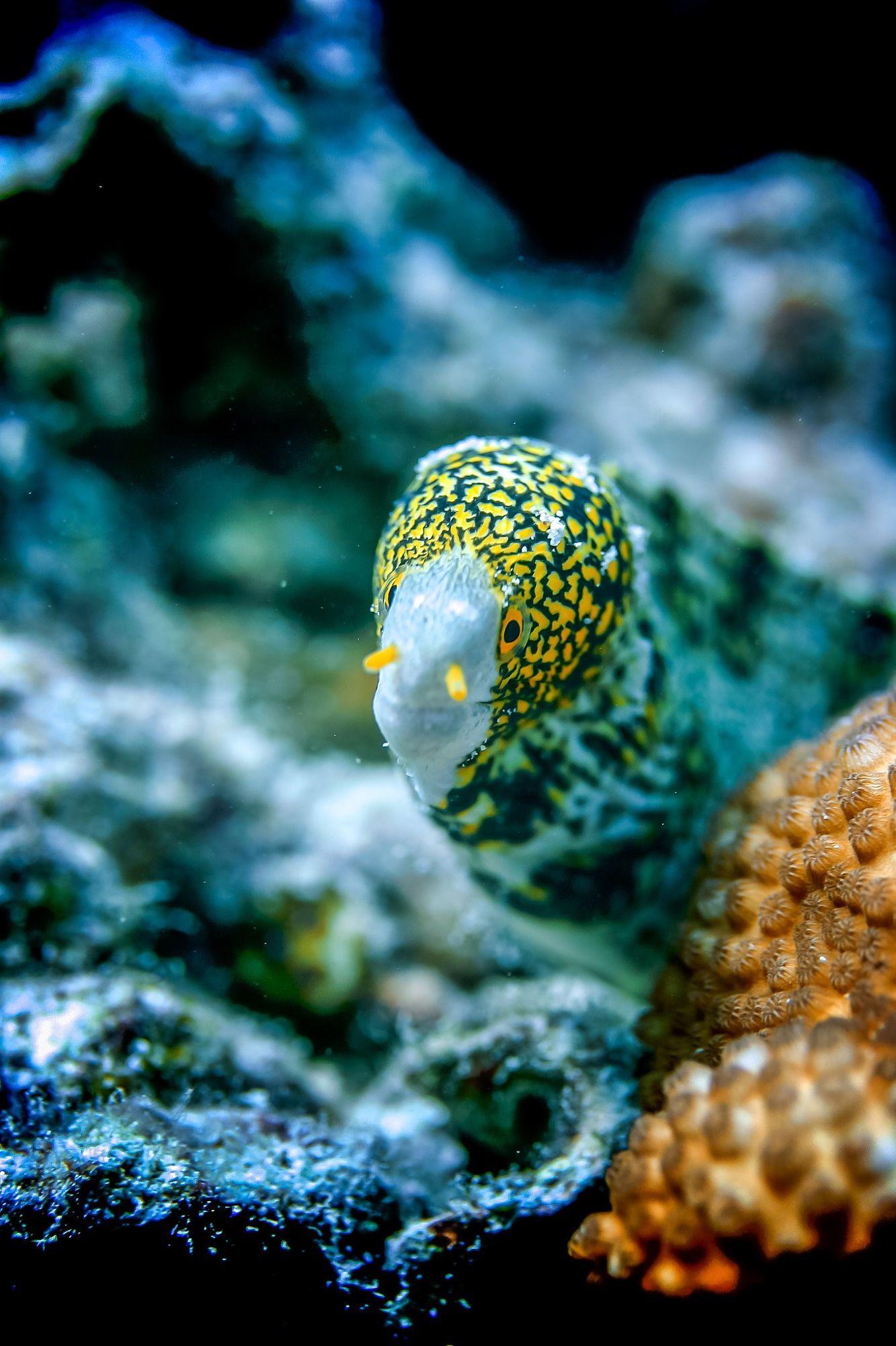 Snowflake Moray Eel Fish Pet Moray Eel Underwater World