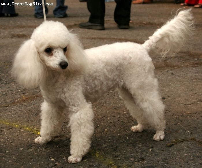 A Photo Of A 9 Months Old White Miniature Poodle At A Show