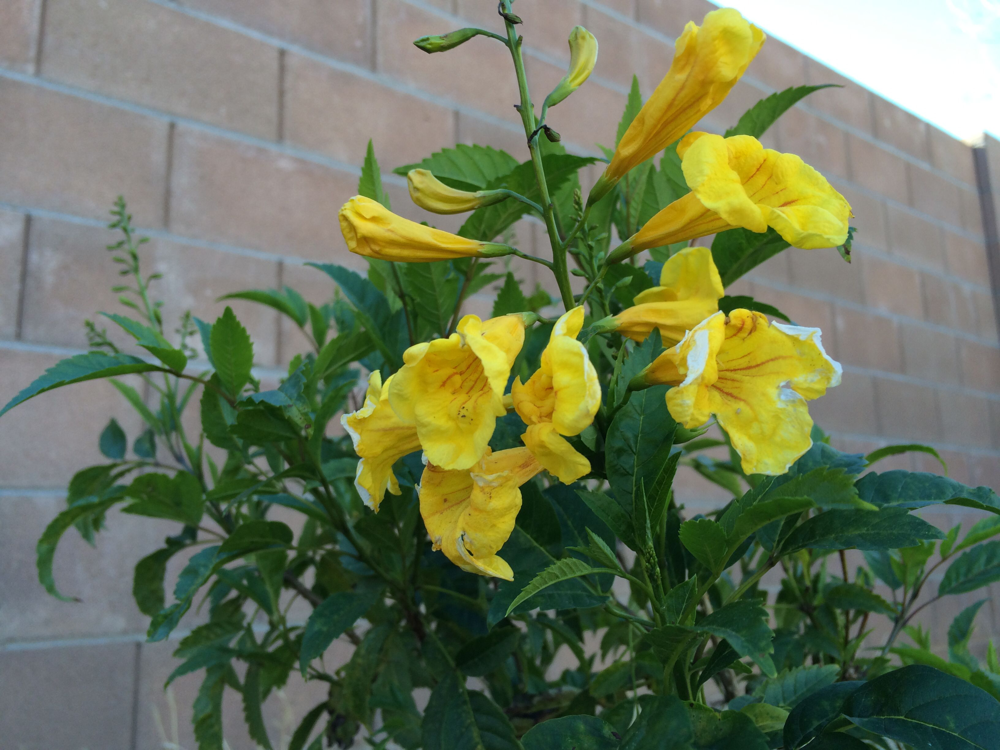 Yellow bells! Right up there with bluebonnets in the contest for best TX flower in my book. Blooms all summer.