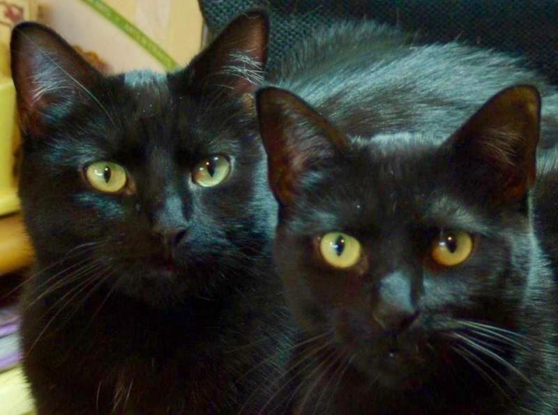 Adopt C 59520 Lola Petvalu On Cat Adoption Cats Black Cat