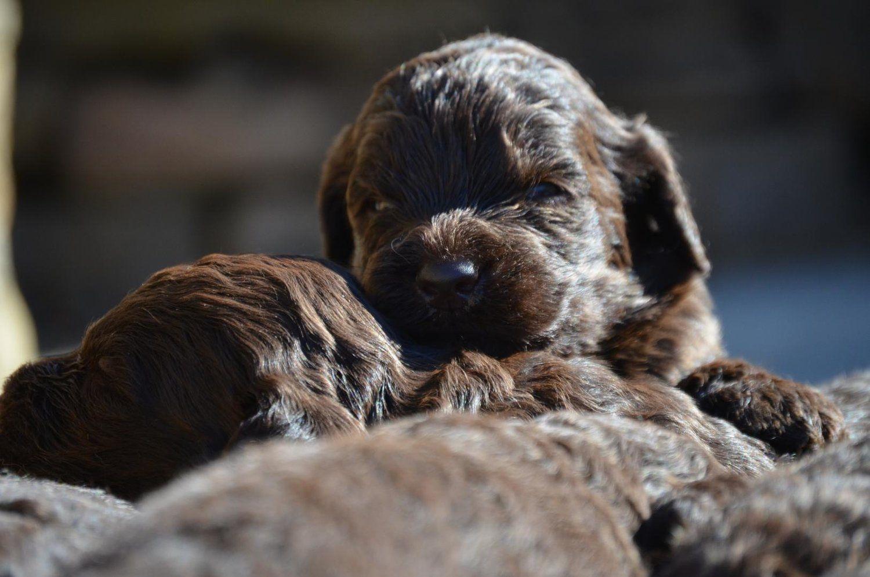 ChocolateNewfiedoodlepuppy (7).jpeg Poodle mix dogs