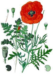 Pin By Plantsmap Com On Memorial Day Poppies Botanical Prints Flanders Poppy