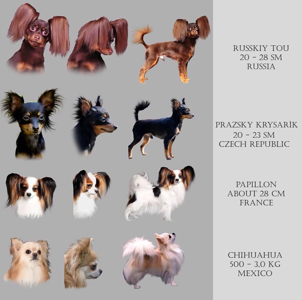 Road S End Papillons Ear Fringing On Russian Toy Prague Ratter Papillon Puppy Papillon Dog Russian Toy