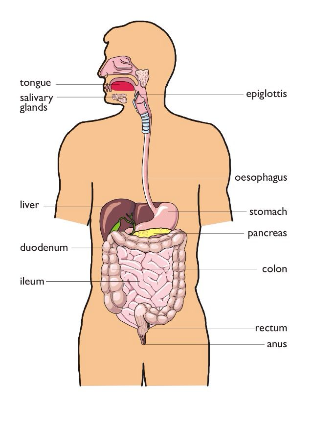 Alimentary Canal Biology Images Pinterest A Level Biology