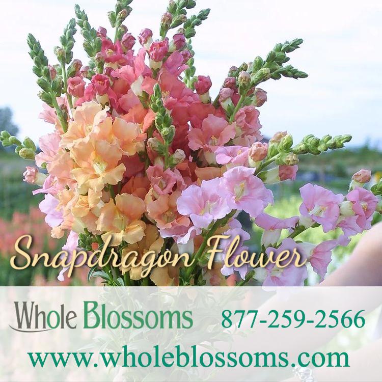 Snapdragon Flower in 2020 Snapdragon flowers, Bulk