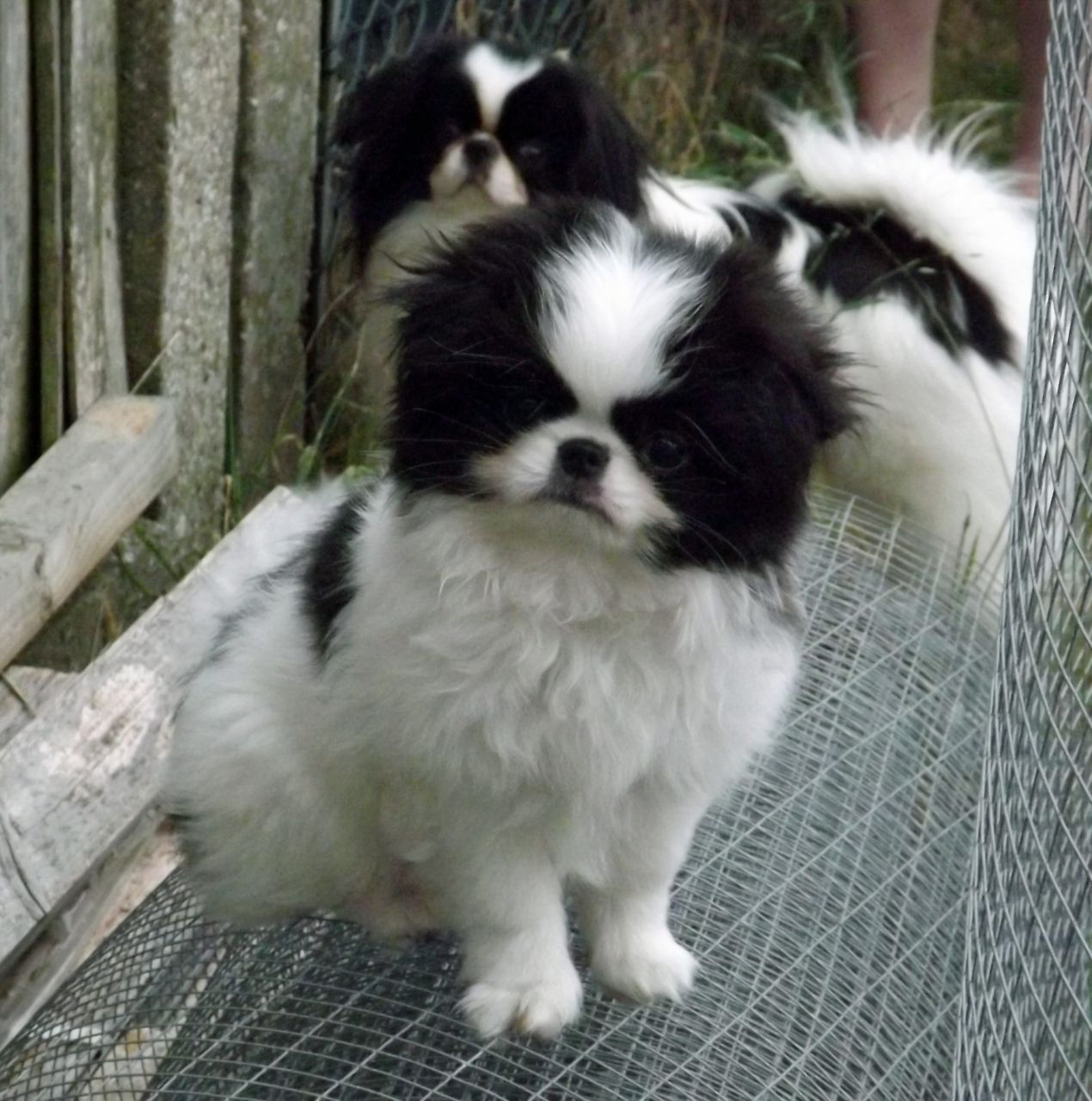 Japanese Chin Puppy For Sale The Cutest Puppies in the