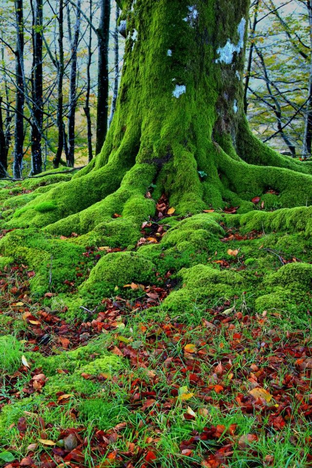 Forest With Trees Root In Moss Wallpaper For 640x960 Tree Roots Moss Garden Forest