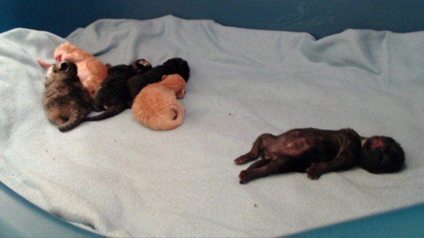 Meet... the Cupcake kittens! Born 1/28 - http://TinyKittens.com/vote :)