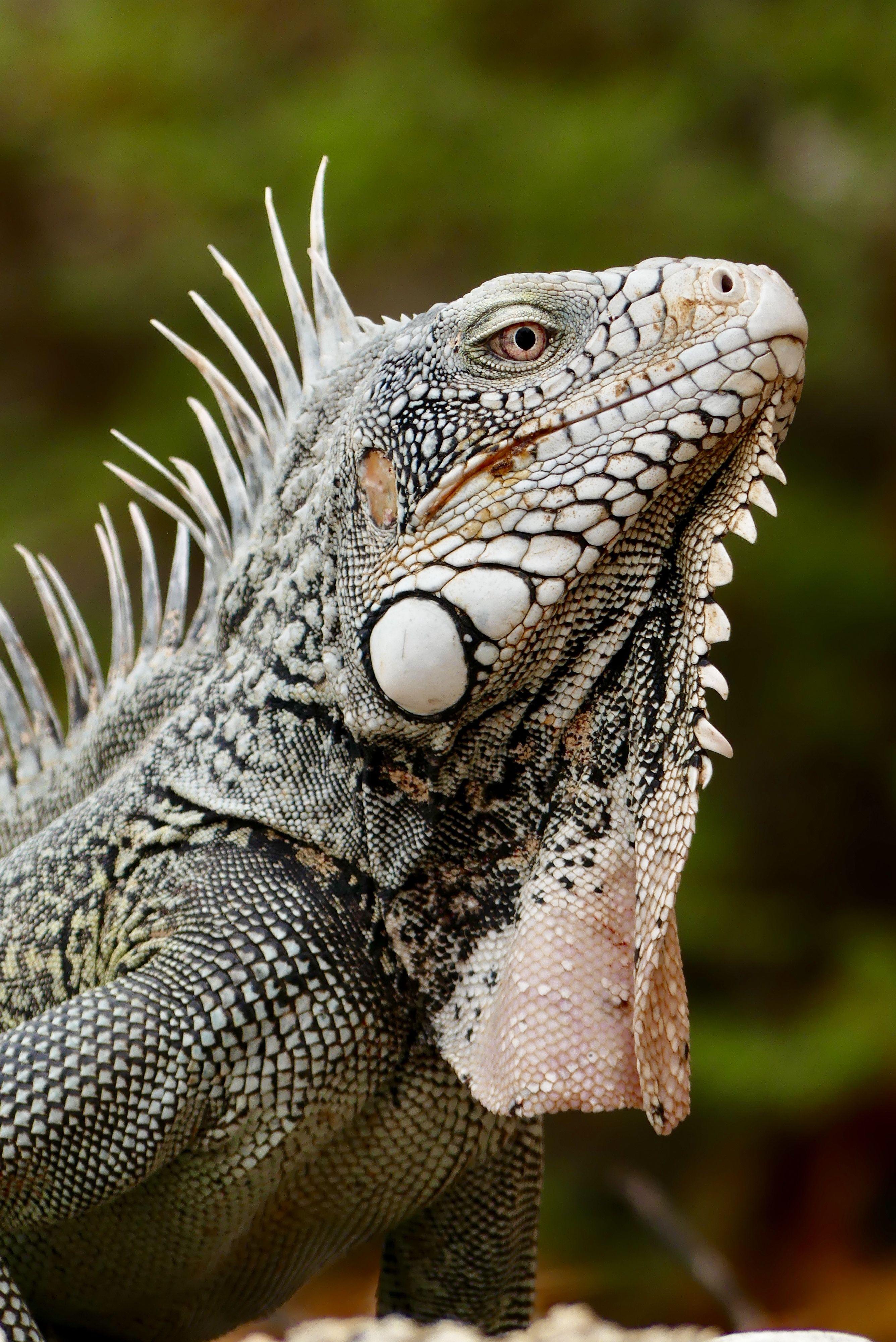 Curacao Leguaan Amphibians Reptiles And Amphibians Animals