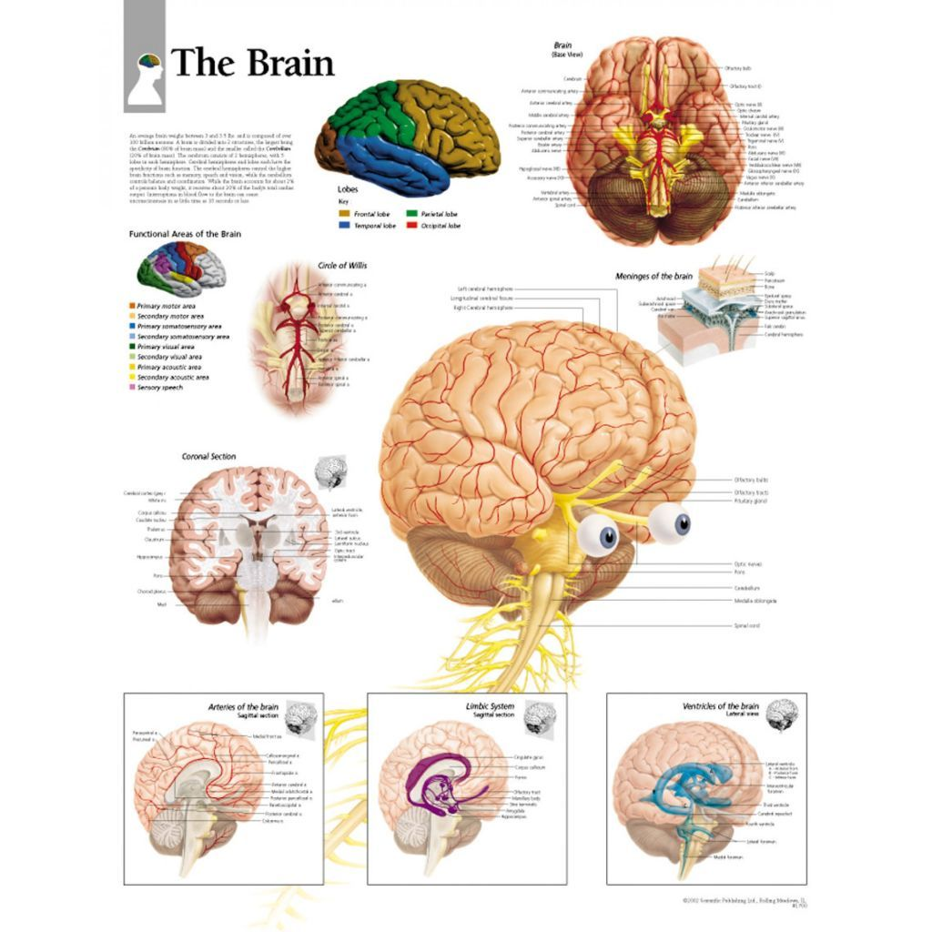 Download Brain Function Chart (With images) | Brain ...