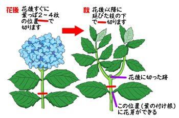 アジサイの育て方 ヤサシイエンゲイ 紫陽花 剪定 日本庭園 園芸学