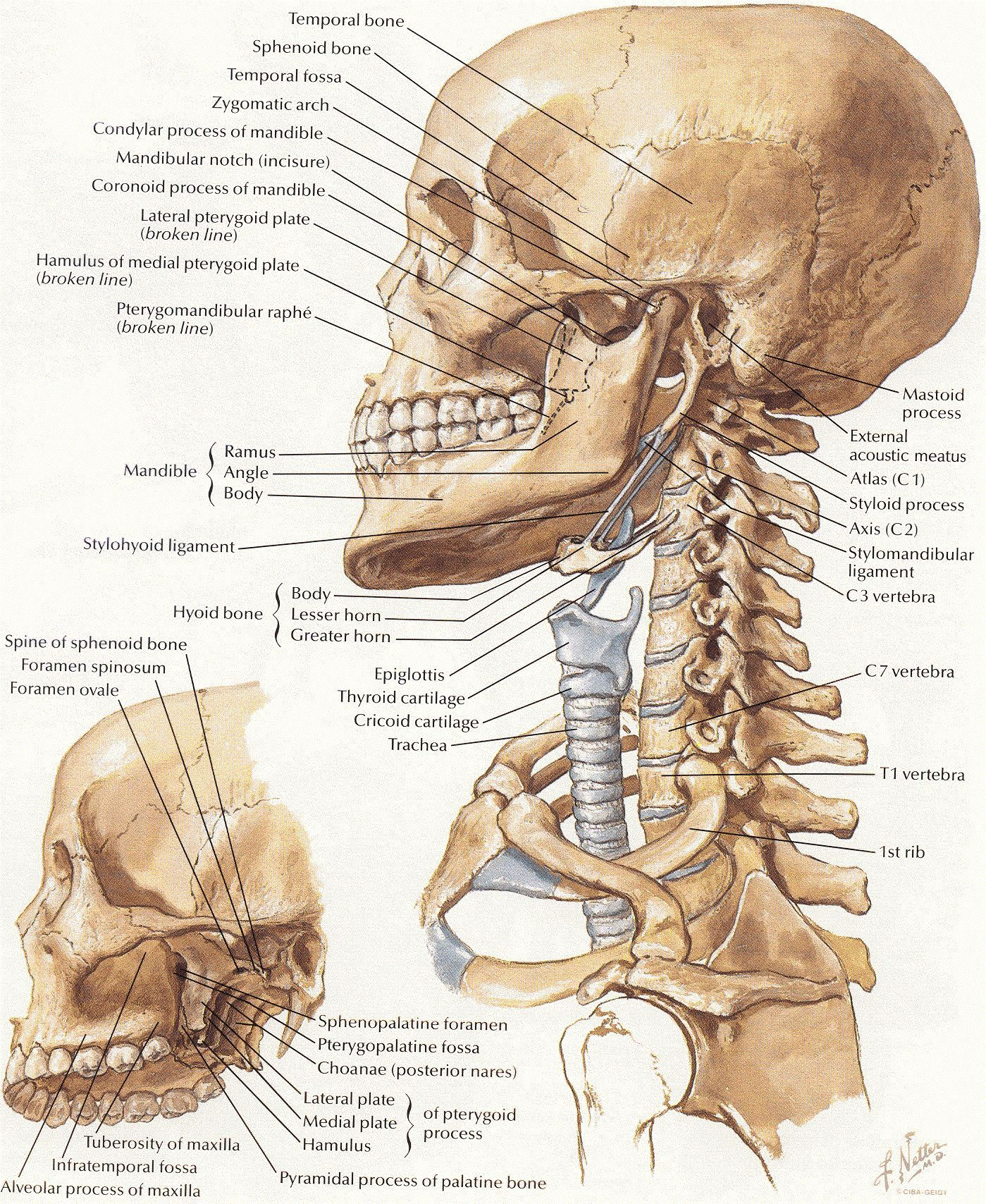 Anatomy of neck bones