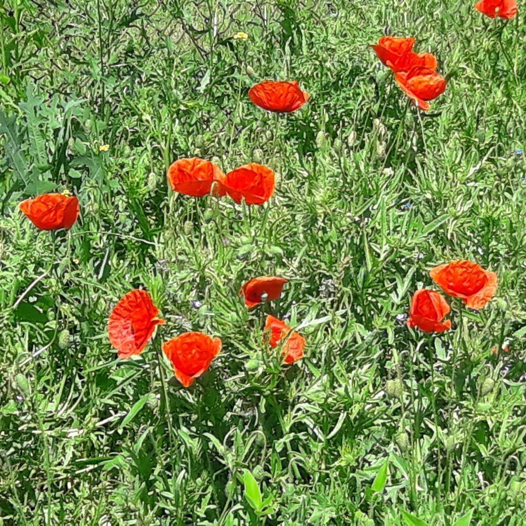 Polskie Maki Kobieta Fit Endorfiny Radosc Przyrodapolska Przyroda Kwiaty Kwiatydoniczkowe Kwiat Spacerowo Spacer Chodzenie Bieganiejestf Plants