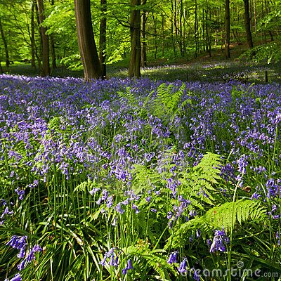 Ferns And Bluebells In Spring Woods Stock Images - Image: 19026504