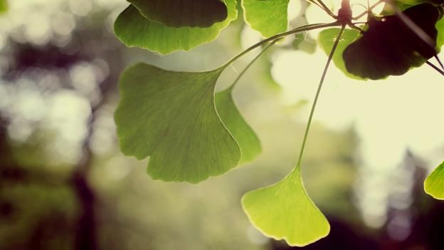 Ginko trees are late to change colour (credit: April CC BY 2.0)