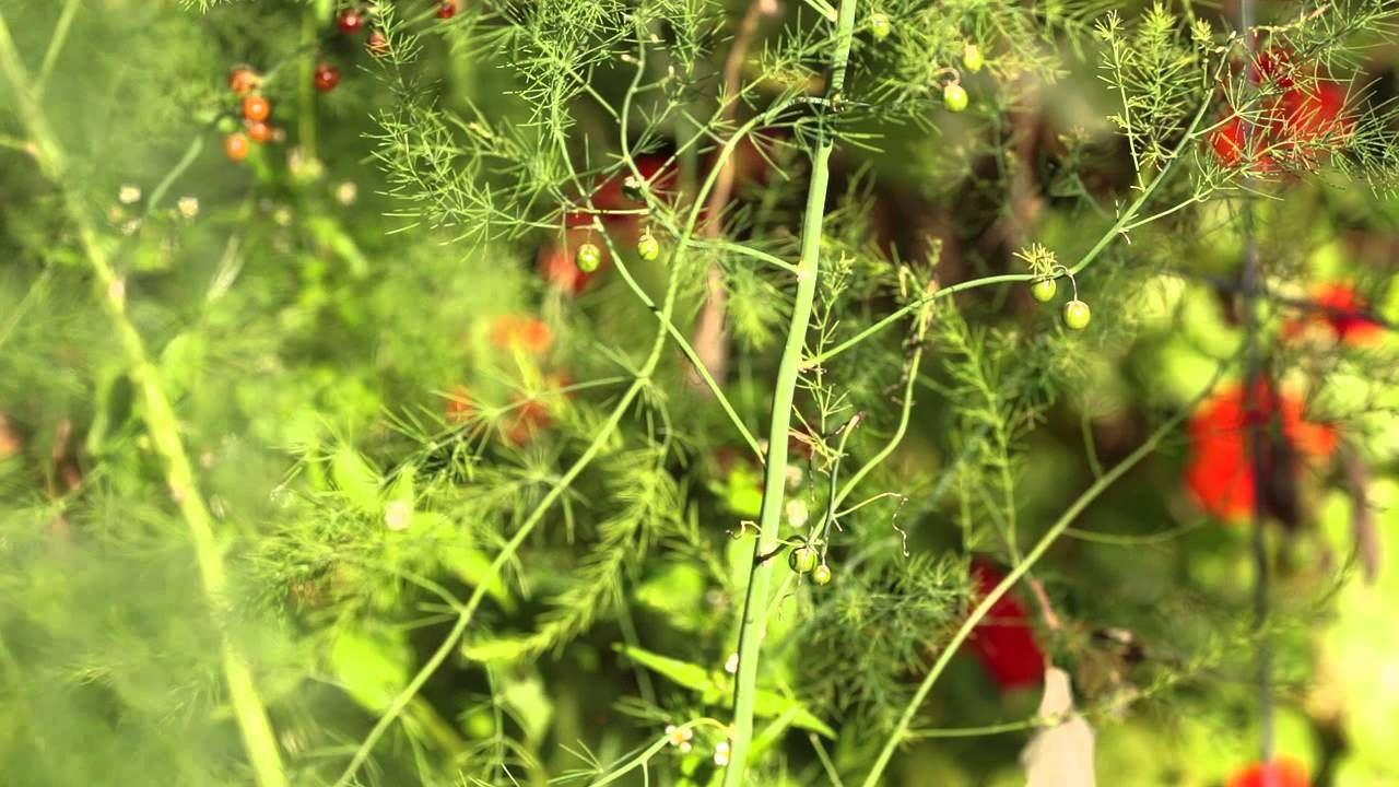 Asparagus Beds in the Fall. How to prepare your bed for a ... Planting Asparagus In The Fall
