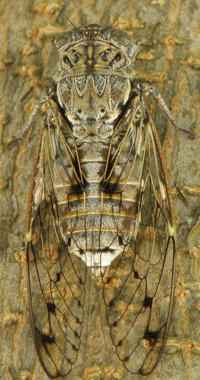 Cicada, photo by Roslyn.
