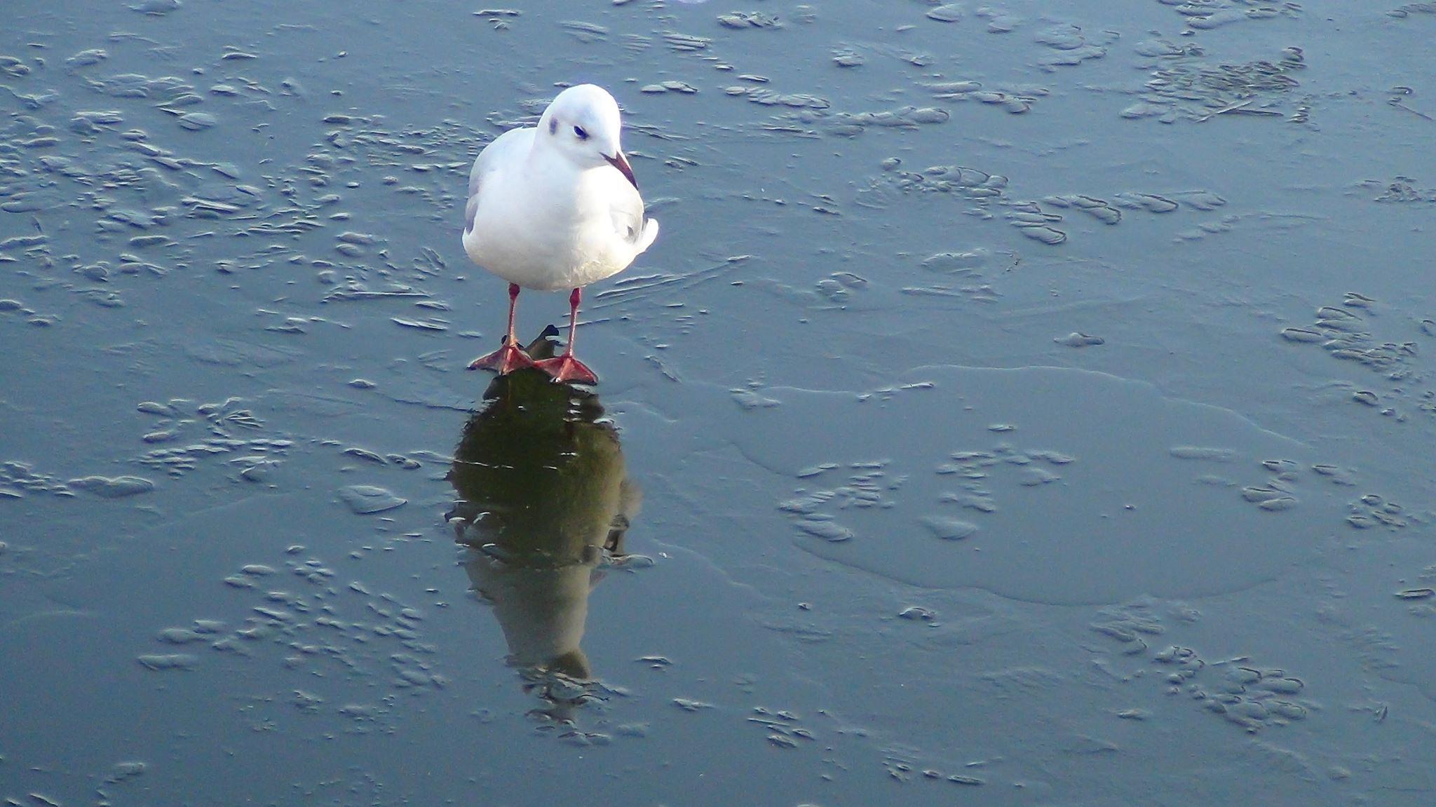Pas froid aux pattes ! #london #londres #frozenlake #bird ©Daniel Sebaihia