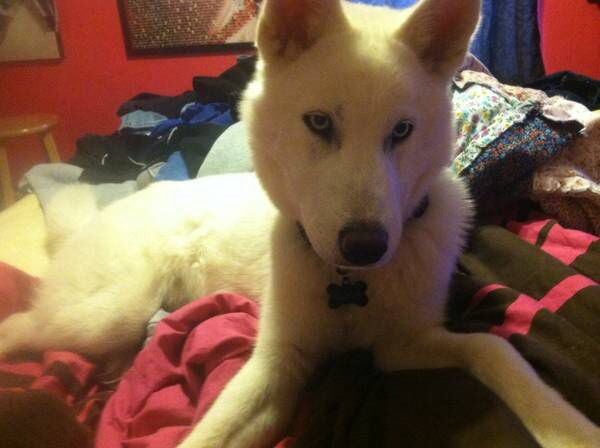 Pin By Us Lost Dog Registry On Siberian Huskies Us Lost Dog