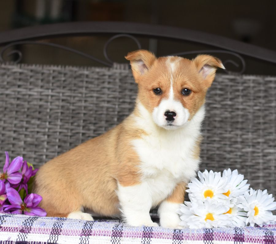 Quiet Welshcorgi Welsh Corgi Puppies Dog Breeder Cute Puppies