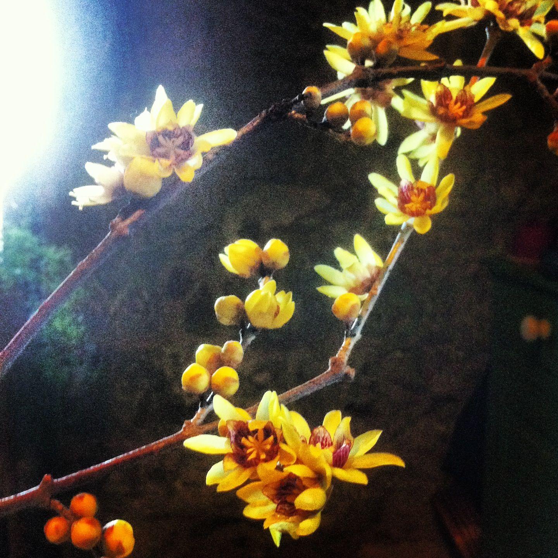 Calicanto Fiore D Inverno calicanto di gennaio (con immagini) | fiori d'inverno, fiori