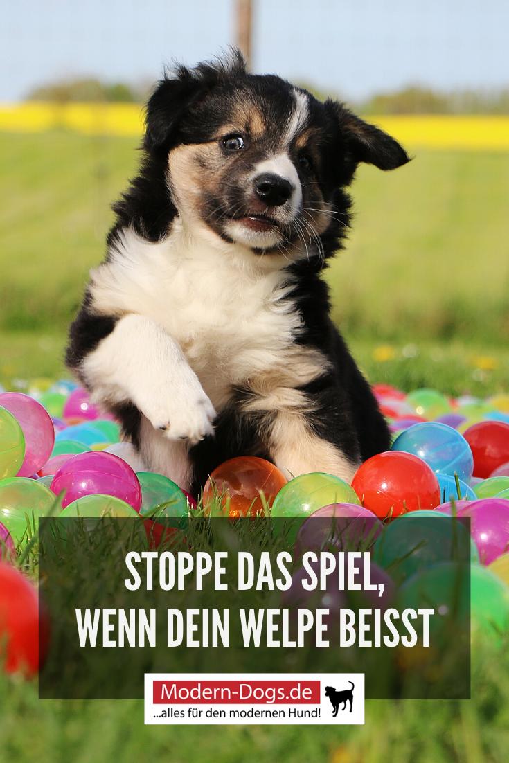 Beisshemmung Fur Welpen So Kannst Du Sie Ihm Beibringen In 2020 Welpen Hundchen Training Hunde