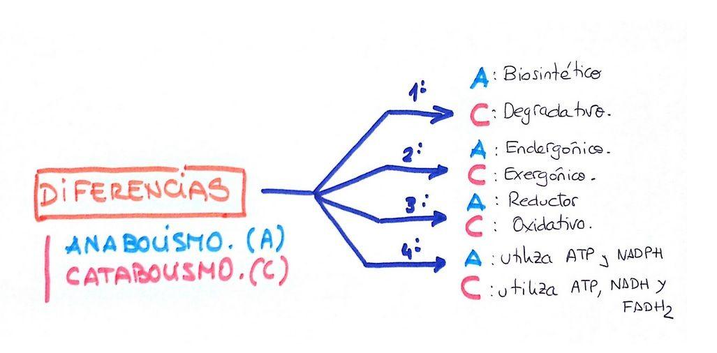 Diferencias Entre El Anabolismo Y El Catabolismo Biología Avanzada Anabolismo Mapas Mentales