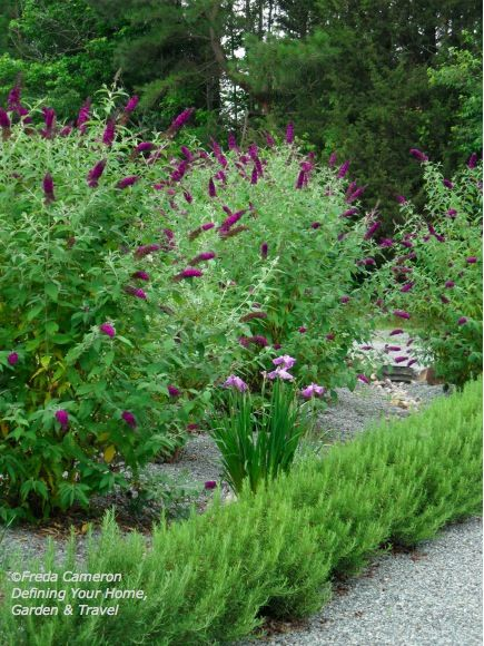 Butterfly Bushes Japanese Iris And Rosemary Growing In My Gravel