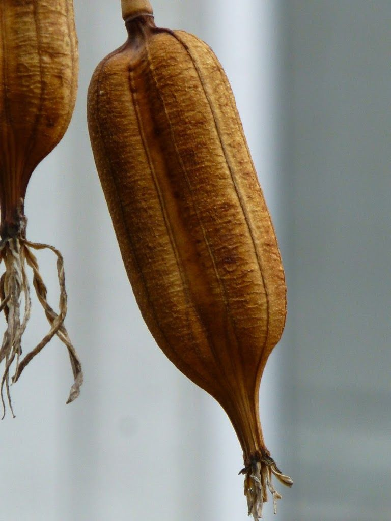 Yucca seedpod ~another pretty pod for Autumn in bowls, on wreaths, etc. Plentiful in SW USA.