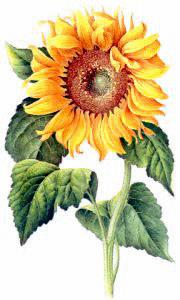 Free Sunflower Clipart Sunflower Clipart Sunflower Images Sunflower Illustration
