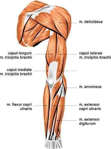 Posterior Arm View: Deltoids, Triceps Brachii, Anconeus, Flexor ...