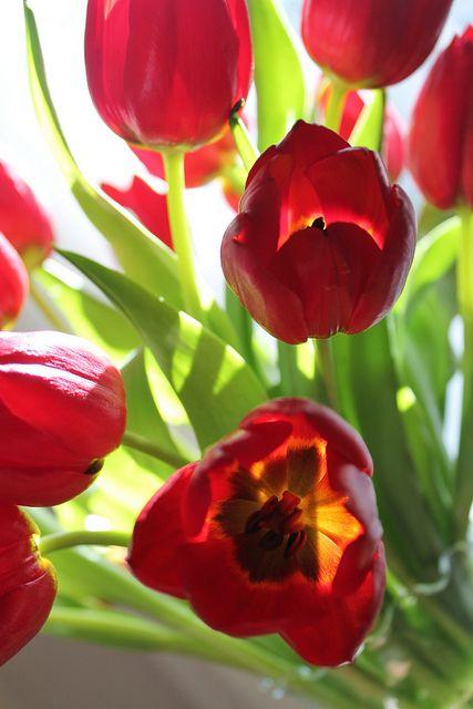 Pretty Red Tulips
