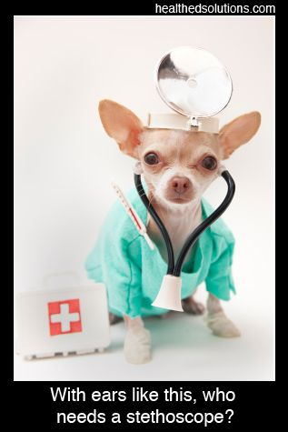 With Ears Like This Who Needs A Stethoscope Chihuahua Dogs