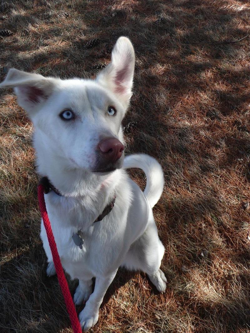 Adopt Laila On Petfinder Siberian Husky Dog Labrador Retriever Mix Animals