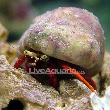 Scarlet Reef Hermit Crab Hermit Crab Crab Invertebrates