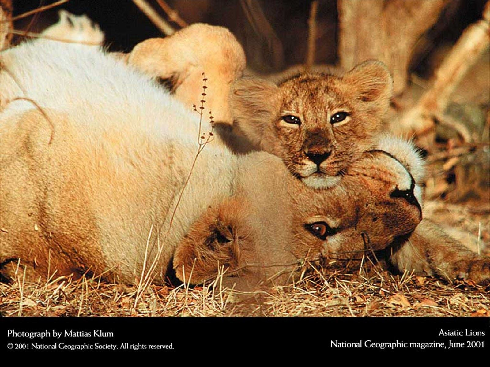 National Geographic Wildlife National Geographic Lions-7655