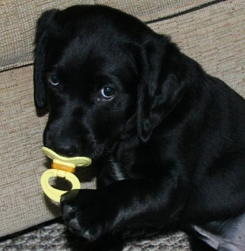 Black Lab Puppy With A Pacifier How Cute Lab Puppy Black Lab Puppies Cute Dogs