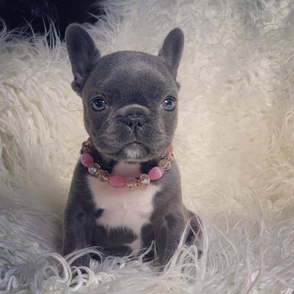 Pin by Tiffany Aleman on French bulldog puppies in 2020