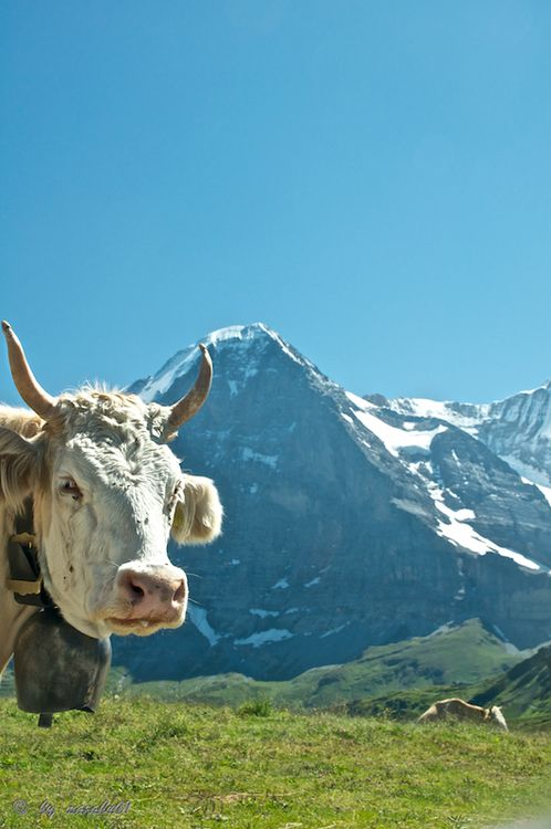 A Photo From Bern West Trekearth Another Cow Photo Bomb Visit Switzerland Swiss Alps Grindelwald