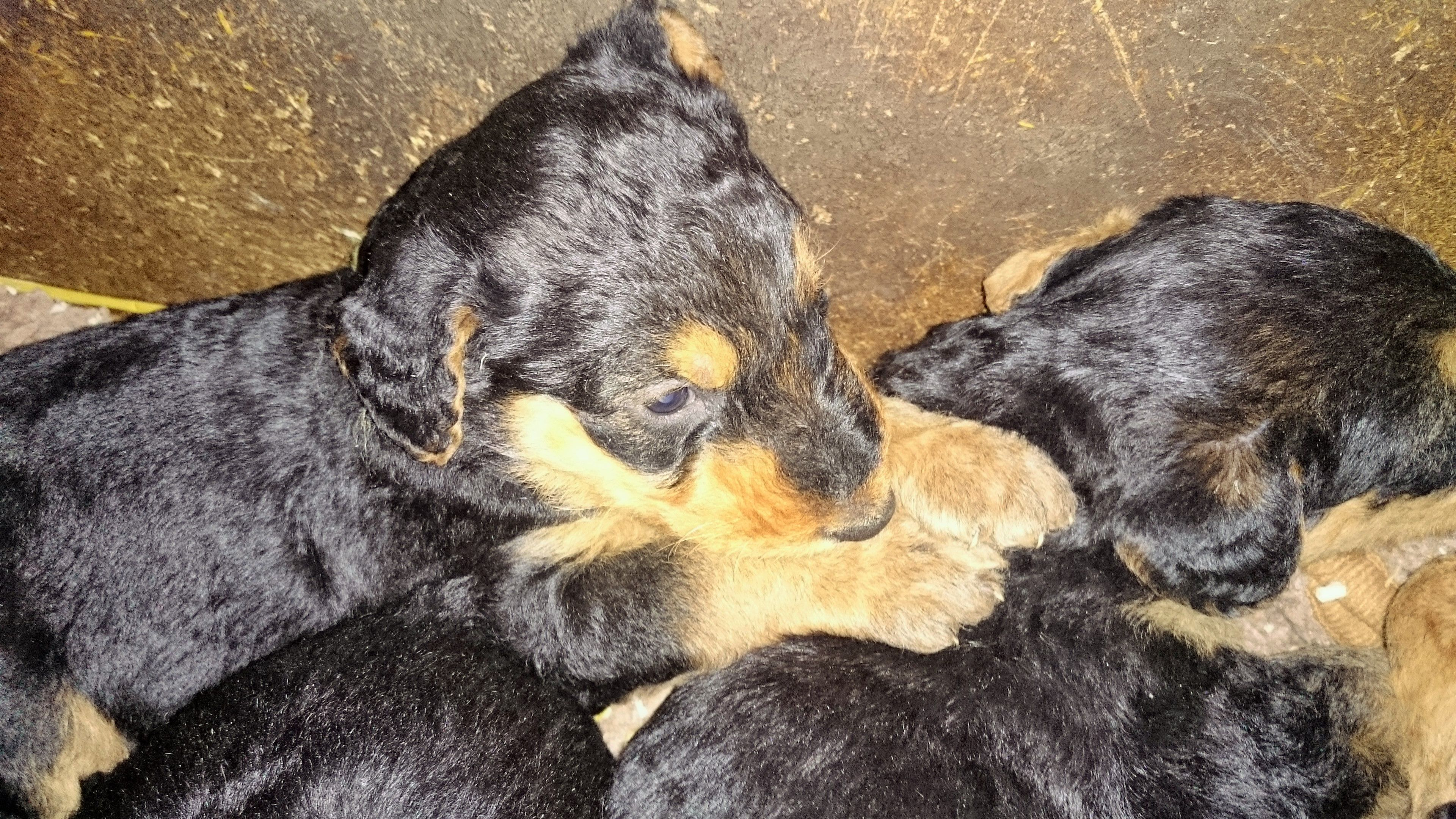 Royal Workers Airedale Terrier Rosi Hat Ihre Ersten Welpen Airedale Terrier Terrier Welpen