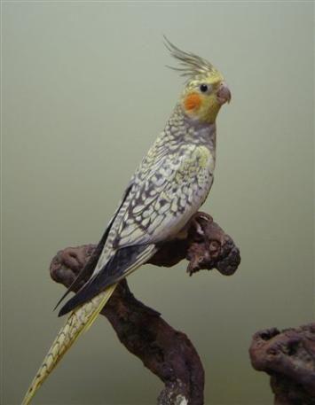 Cockatielfoundation Com Cockatiel Pet Birds Birds Online