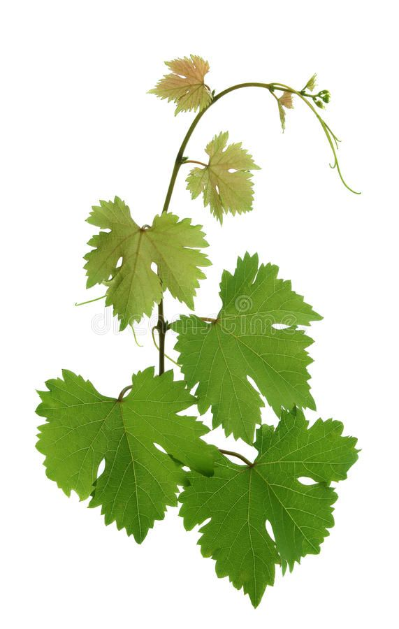 Grape Leaves Branch Of Grape Leaves Isolated On A White Background Ad Branch Leaves Grape Grape Ba Leaf Photography Grape Tree Watercolor Flowers