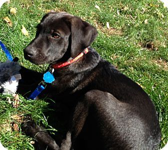 Pointer Lab Mix Puppies | ... Puppy | Westport, CT ...