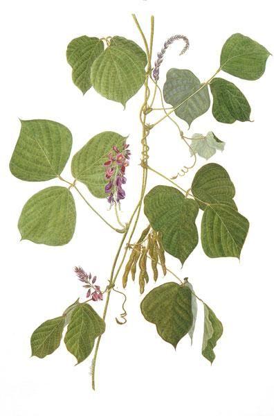 By Chris Graebner Botanical Illustration Plant Leaves Pueraria