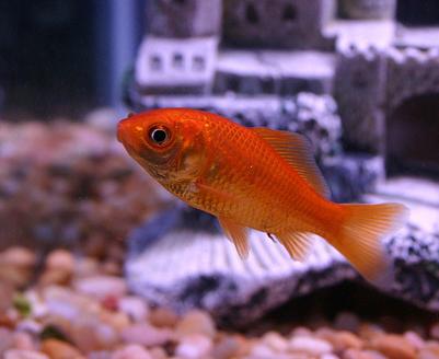 8 Goldfish Tank Mates Clubfauna Goldfish Tank Goldfish Goldfish Care