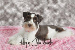Miniature Schnauzer Dog Puppy Websites Schnauzer Dogs Schnauzer Dogs And Puppies