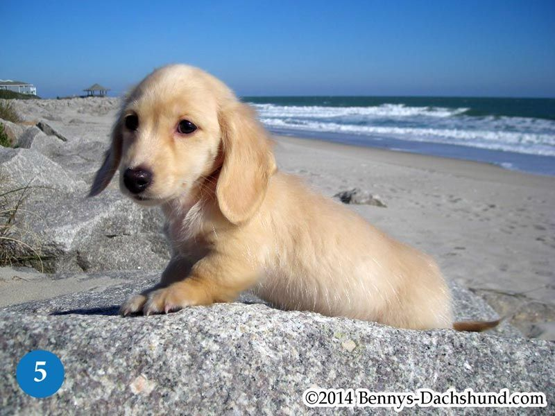 Kennel Free Dachshunds Puppies From Wilmington Nc Cream