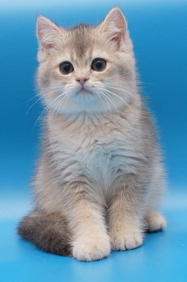 Bruce Blue Golden British Shorthair British Shorthair Cats