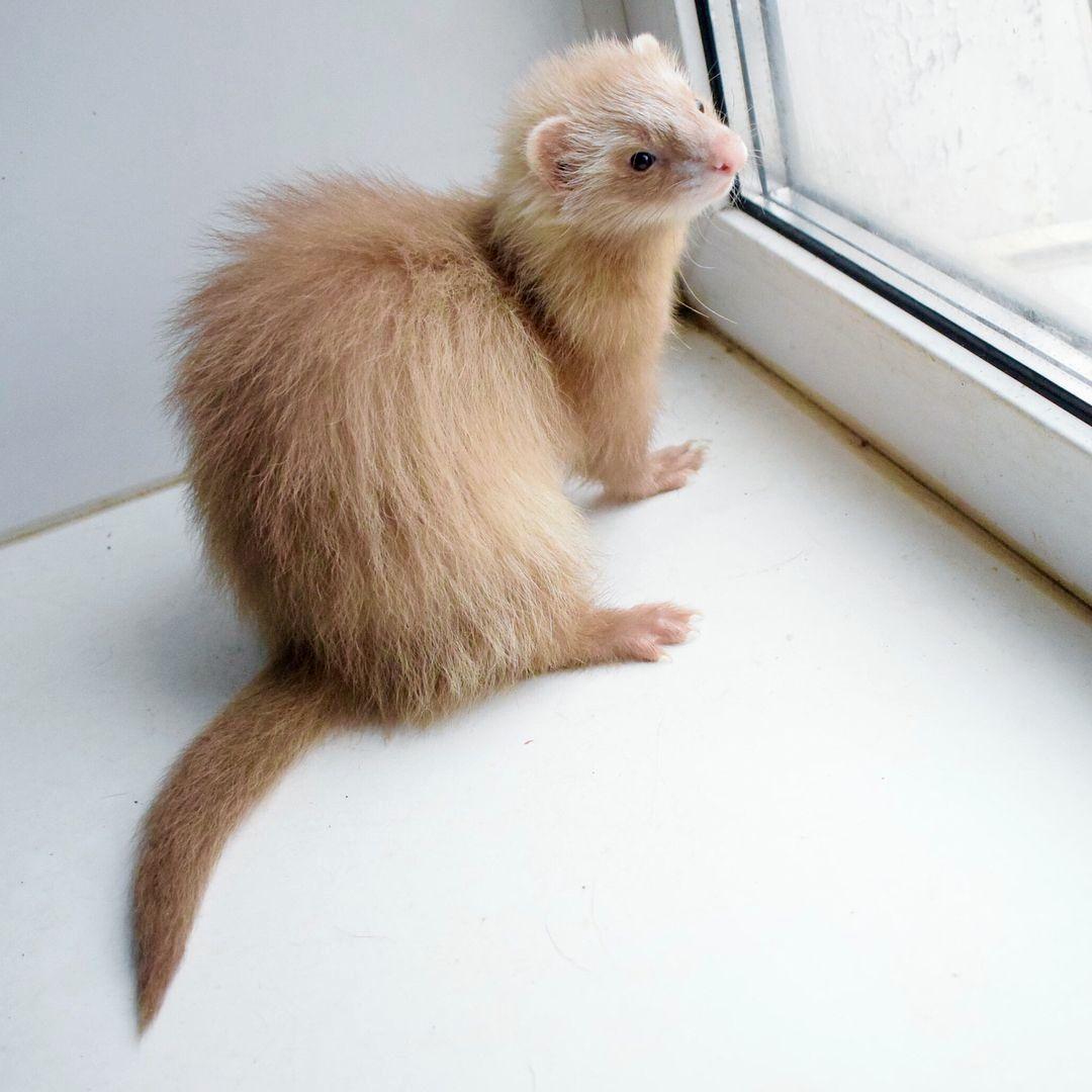 Bronwyn Pet Ferret Cute Ferrets Cute Animals
