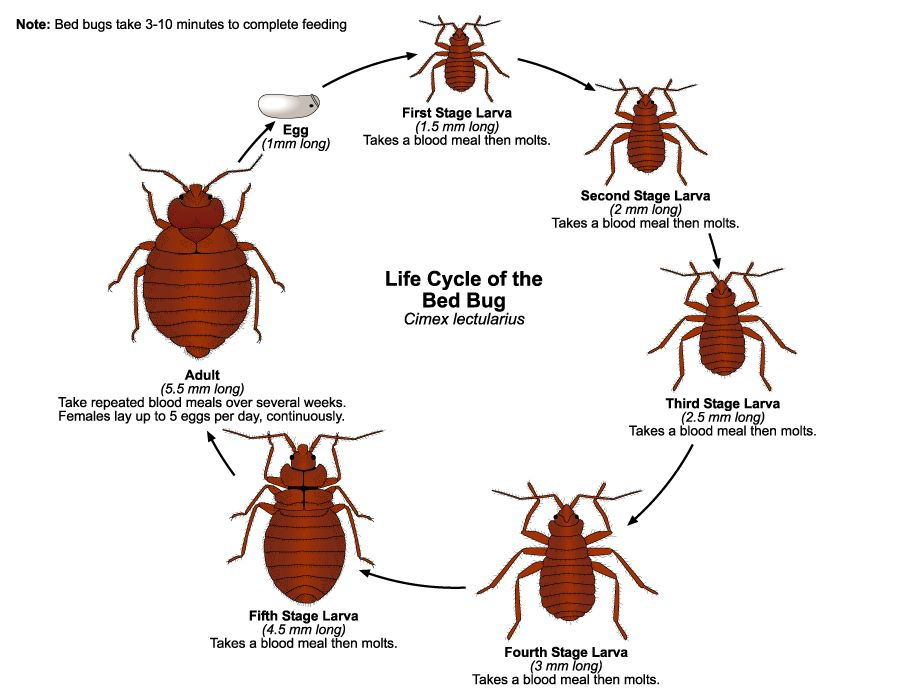 High Quality What Is The Life Cycle Of Bed Bugs? Bed Bugs Develop From Egg To Adult